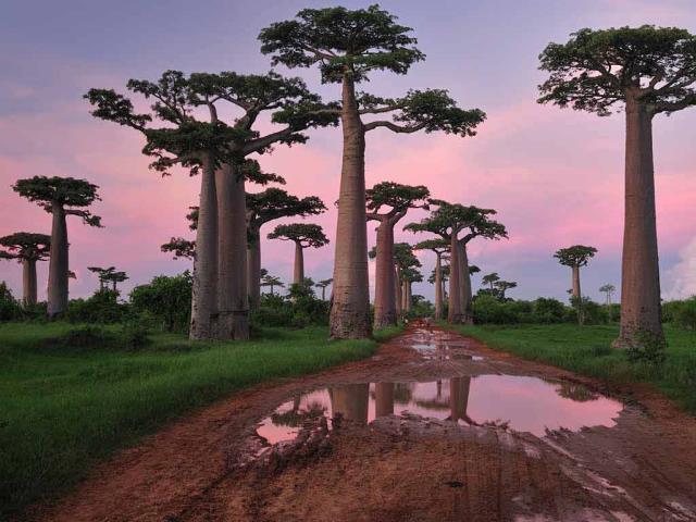 Grandidier's baobab forest near Morondava, Madagascar (© Thomas Marent/Minden Pictures)