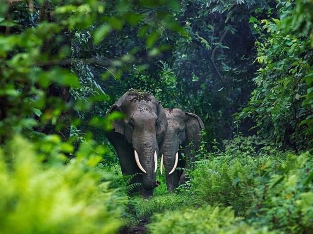 Asian elephants in West Bengal, India (© Avijan Saha/Minden Pictures)