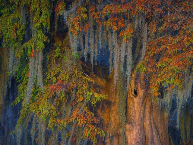 Bald cypress and Spanish moss in the Atchafalaya Basin, Louisiana (© Chris Moore/Exploring Light Photography/Tandem Stills + Motion)