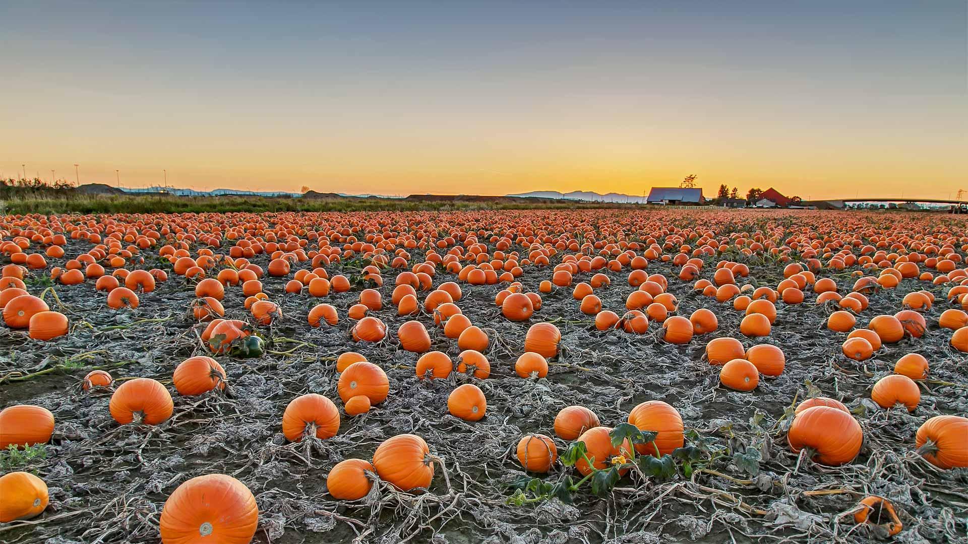 A pumpkin patch in British Columbia, Canada (© James Chen/Shutterstock)(Bing United States)