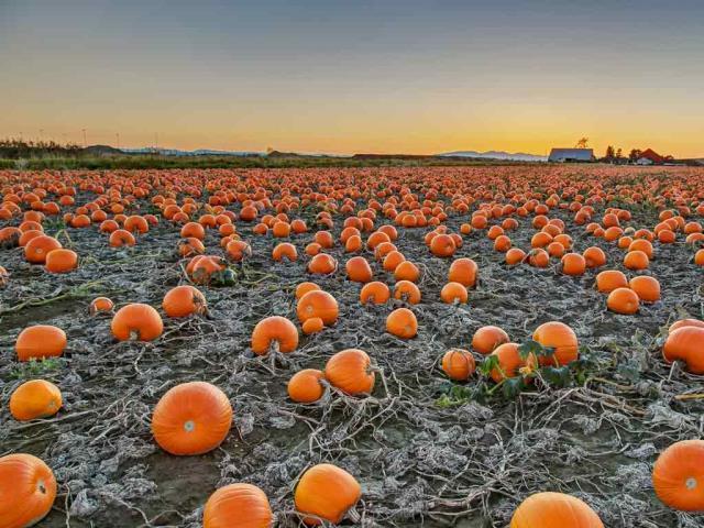 A pumpkin patch in British Columbia, Canada (© James Chen/Shutterstock)
