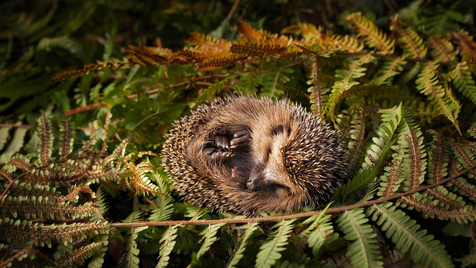 Baby hedgehog (© lorenzo104/Getty Images)(Bing United States)