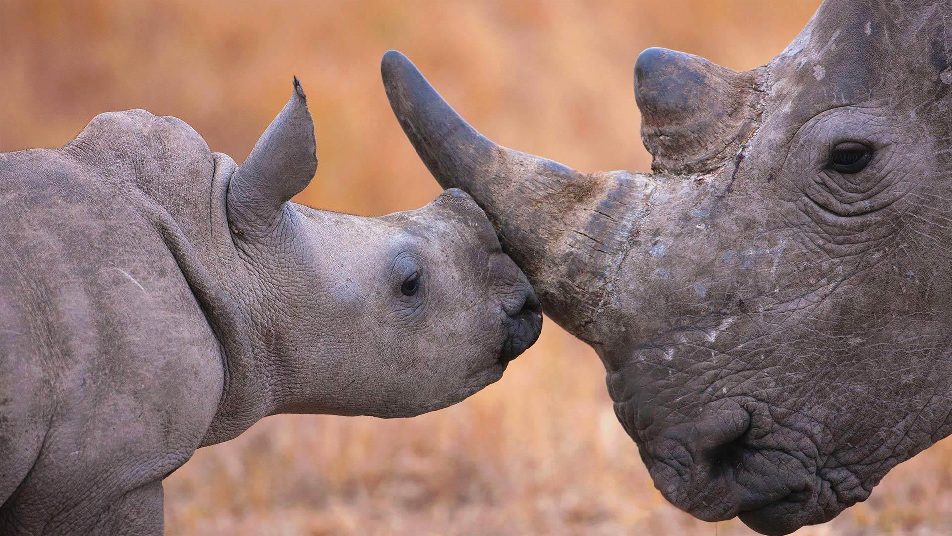 Baby white rhinoceros and mother in Hluhluwe–iMfolozi Park, South Africa (© Martin Harvey/Alamy)(Bing United States)
