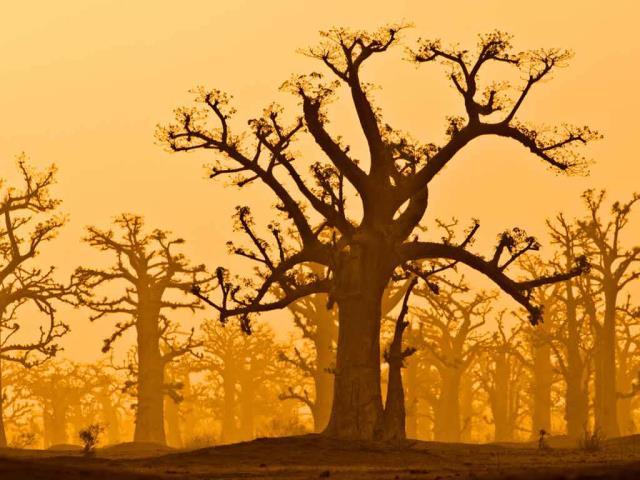 A baobab grove near Bandia Wildlife Reserve in Senegal (© Frans Lanting/plainpicture)