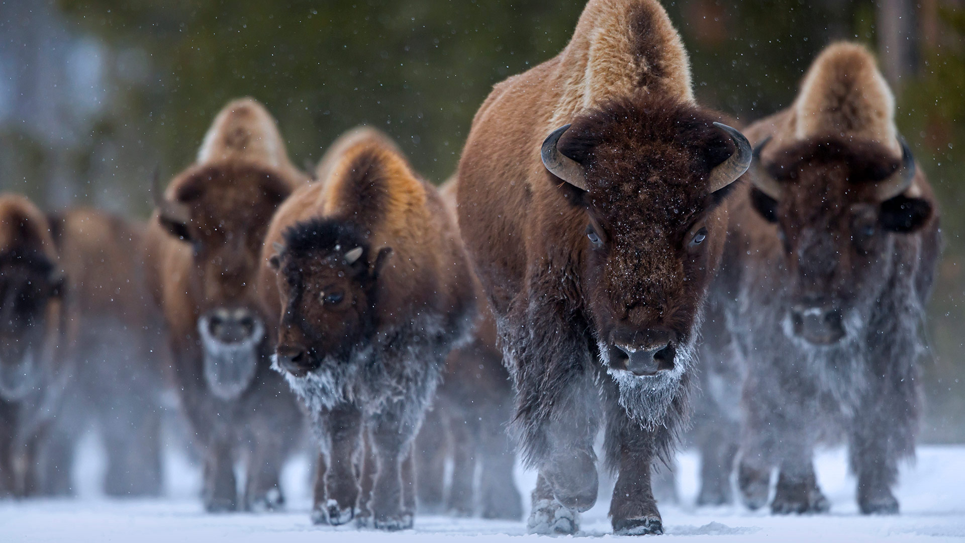 Bison at Yellowstone National Park, Wyoming (© Danny Green/Minden Pictures)(Bing United States)