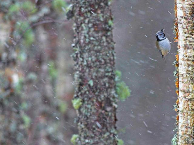 A European crested tit weathers a storm in Scotland (© Ben Hall/Minden Pictures)