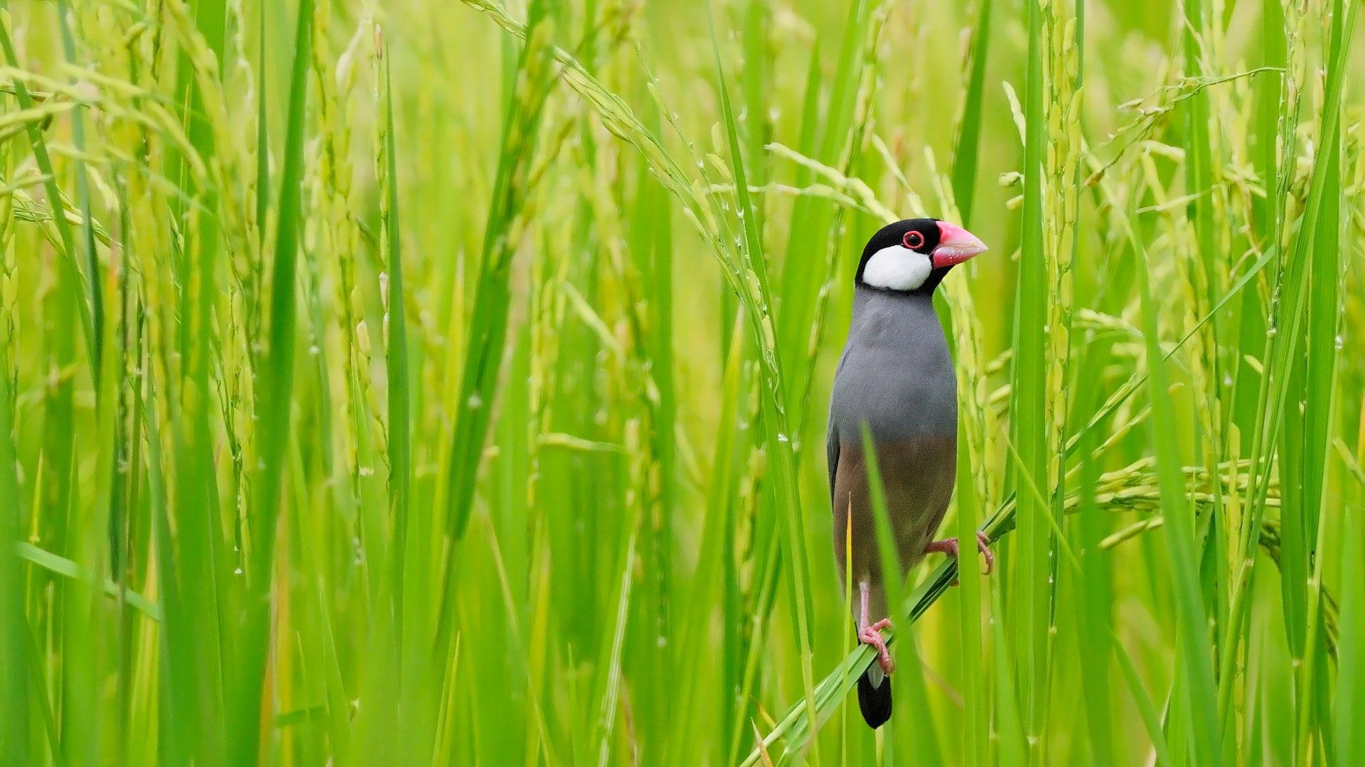 「田んぼの文鳥」タイ, バンコク (© PanuRuangjan/Getty Images)