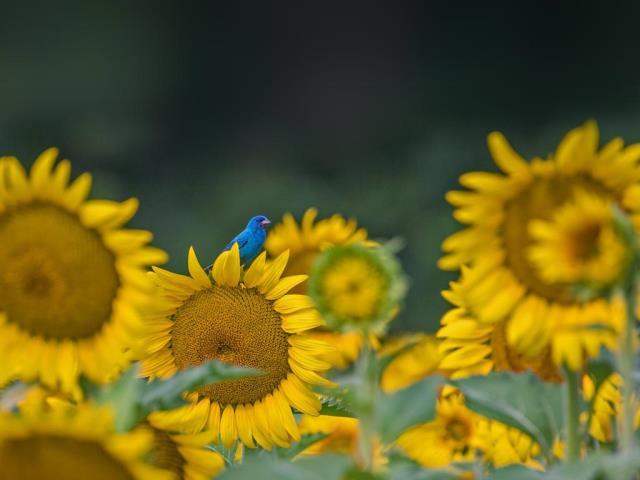 An indigo bunting on a sunflower (© William Krumpelman/Getty Images)