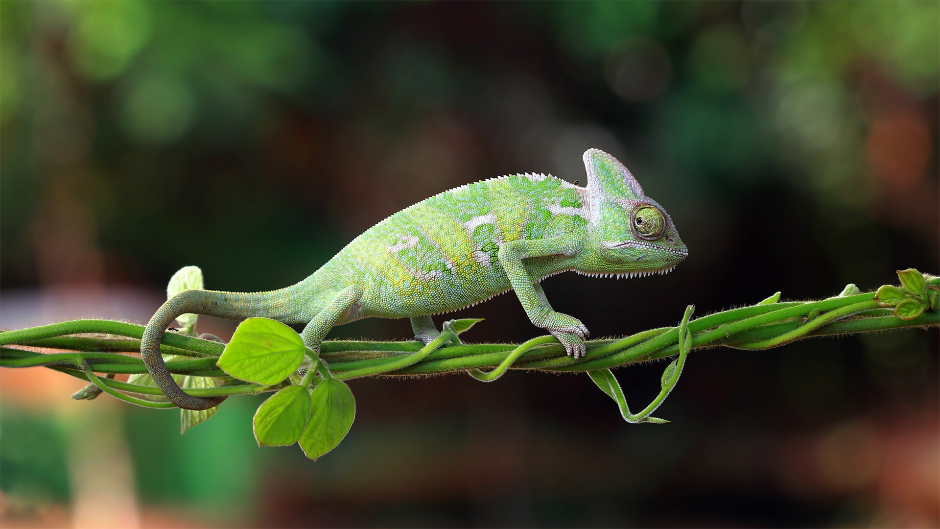 Chameleon walking on a plant, Indonesia (© SnapRapid/Offset by Shutterstock)(Bing United States)