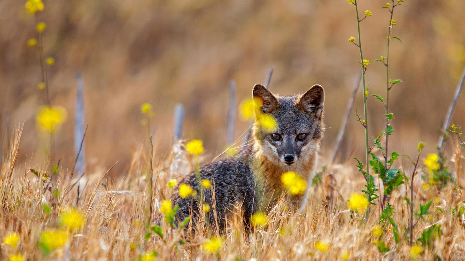 Island fox on Santa Cruz Island, Channel Islands National Park, California (© Ian Shive/Tandem Motion + Stills)(Bing United States)