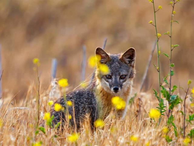 Island fox on Santa Cruz Island, Channel Islands National Park, California (© Ian Shive/Tandem Motion + Stills)