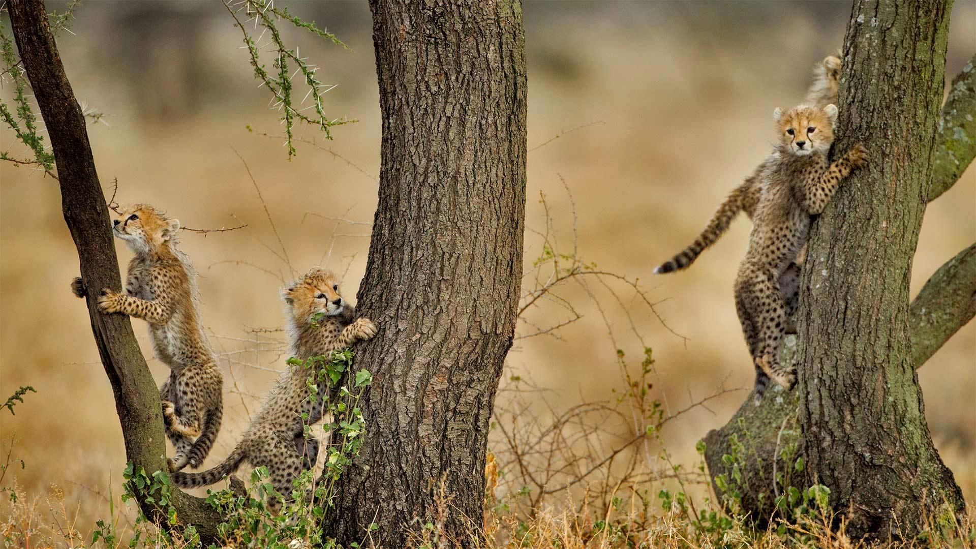 「アカシアの木に登るチーターの子どもたち」タンザニア, ンゴロンゴロ保全地域 (© Paul Souders/Getty Images)