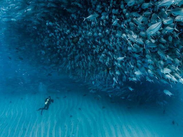 Thousands of jack fish swimming together at Cabo Pulmo National Park, Sea of Cortez, Baja California, Mexico (© Christian Vizl/Tandem Stills + Motion)