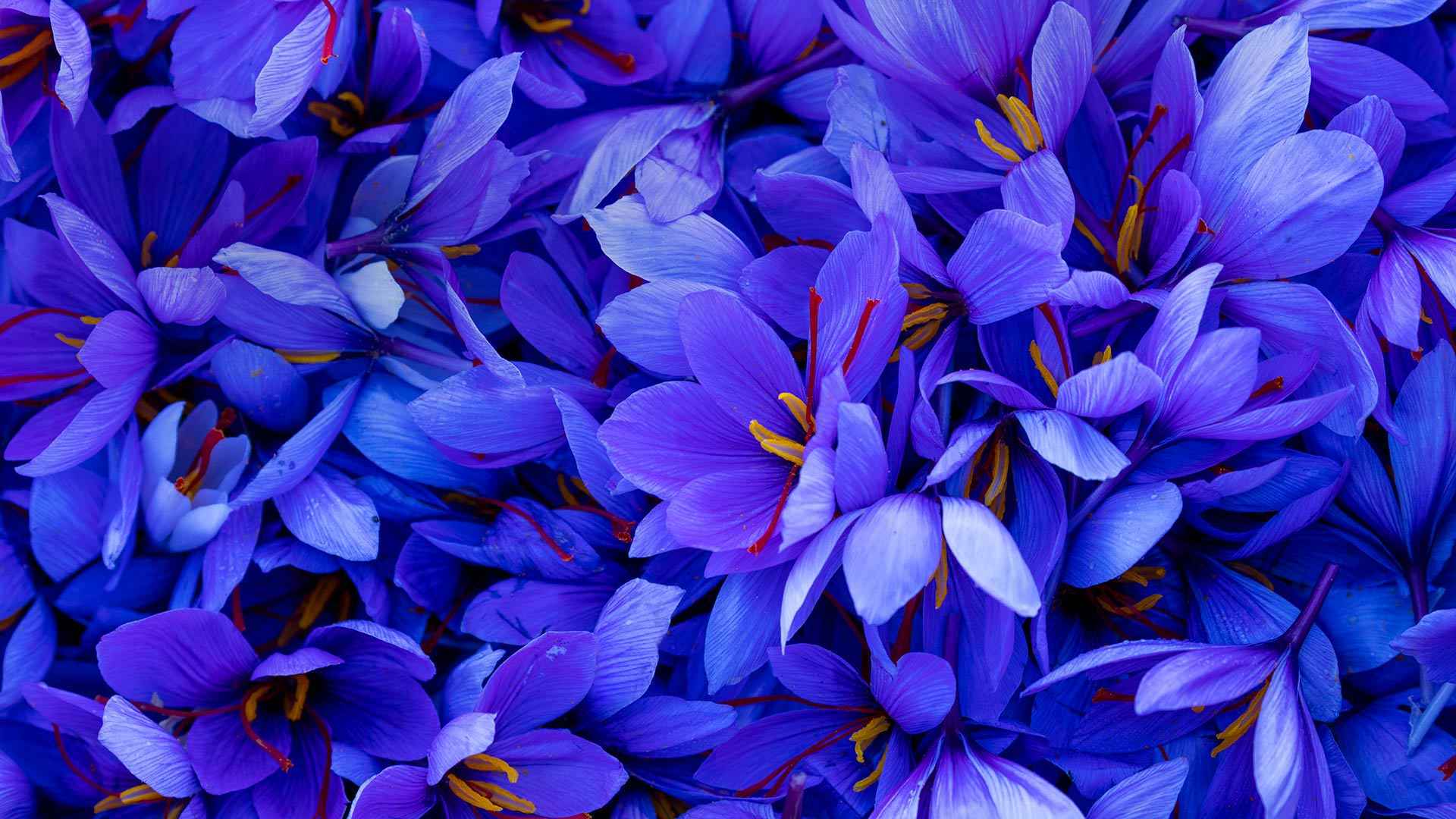 Saffron crocus flowers in Spain (© Juan-Carlos Munoz/Minden Pictures)(Bing United States)