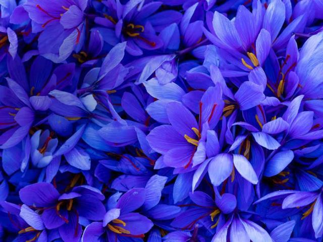 Saffron crocus flowers in Spain (© Juan-Carlos Munoz/Minden Pictures)