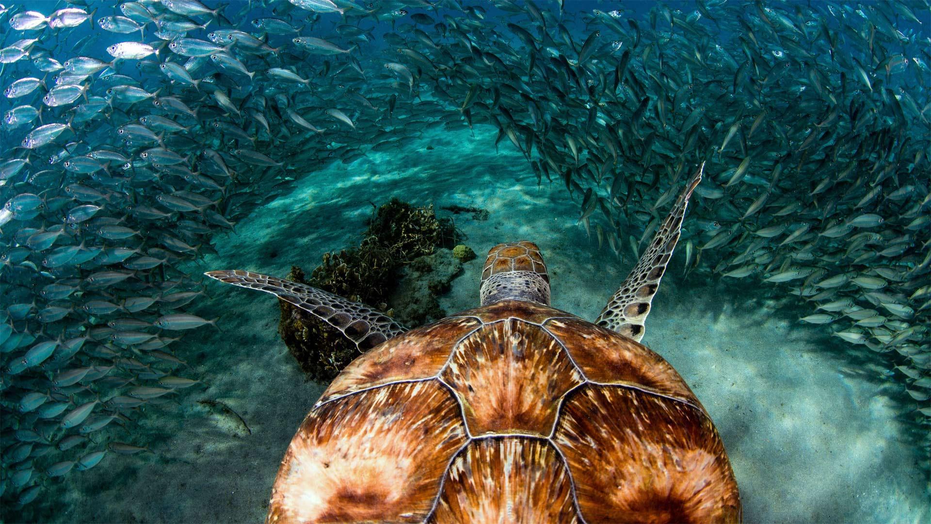 「イワシの群れとアオウミガメ」キュラソー島, プラヤ・グランデ (© yfhishinuma/Getty Images Plus)