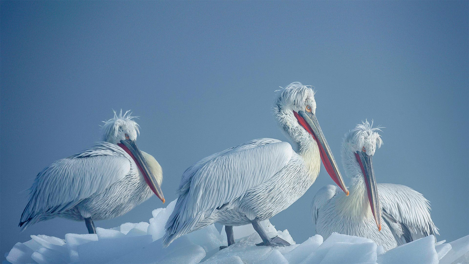 Dalmatian pelicans on ice, Lake Kerkini, Greece (© Guy Edwardes/Minden Pictures)(Bing United States)