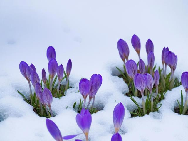 Crocus flowers (© Lorianne Ende/Getty Images)