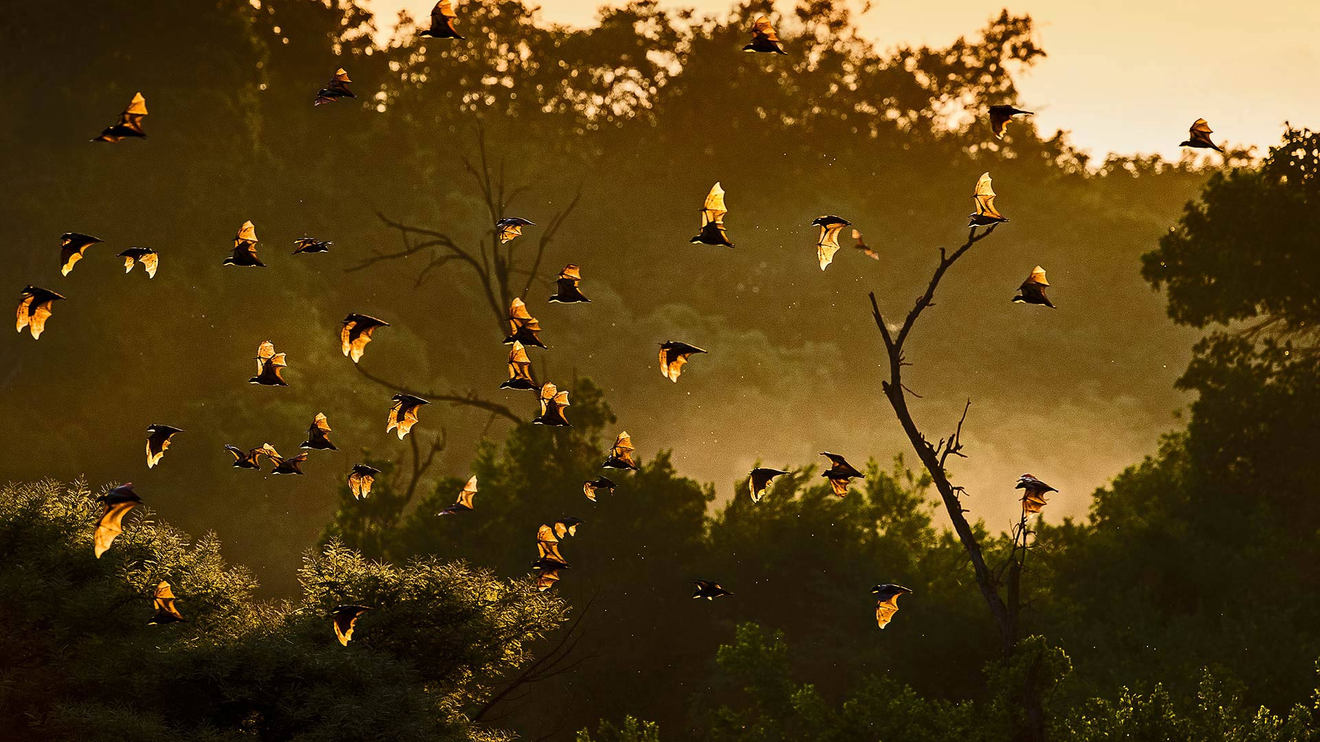Straw-colored fruit bats in Kasanka National Park, Zambia (? Nick Garbutt/Minden Pictures)