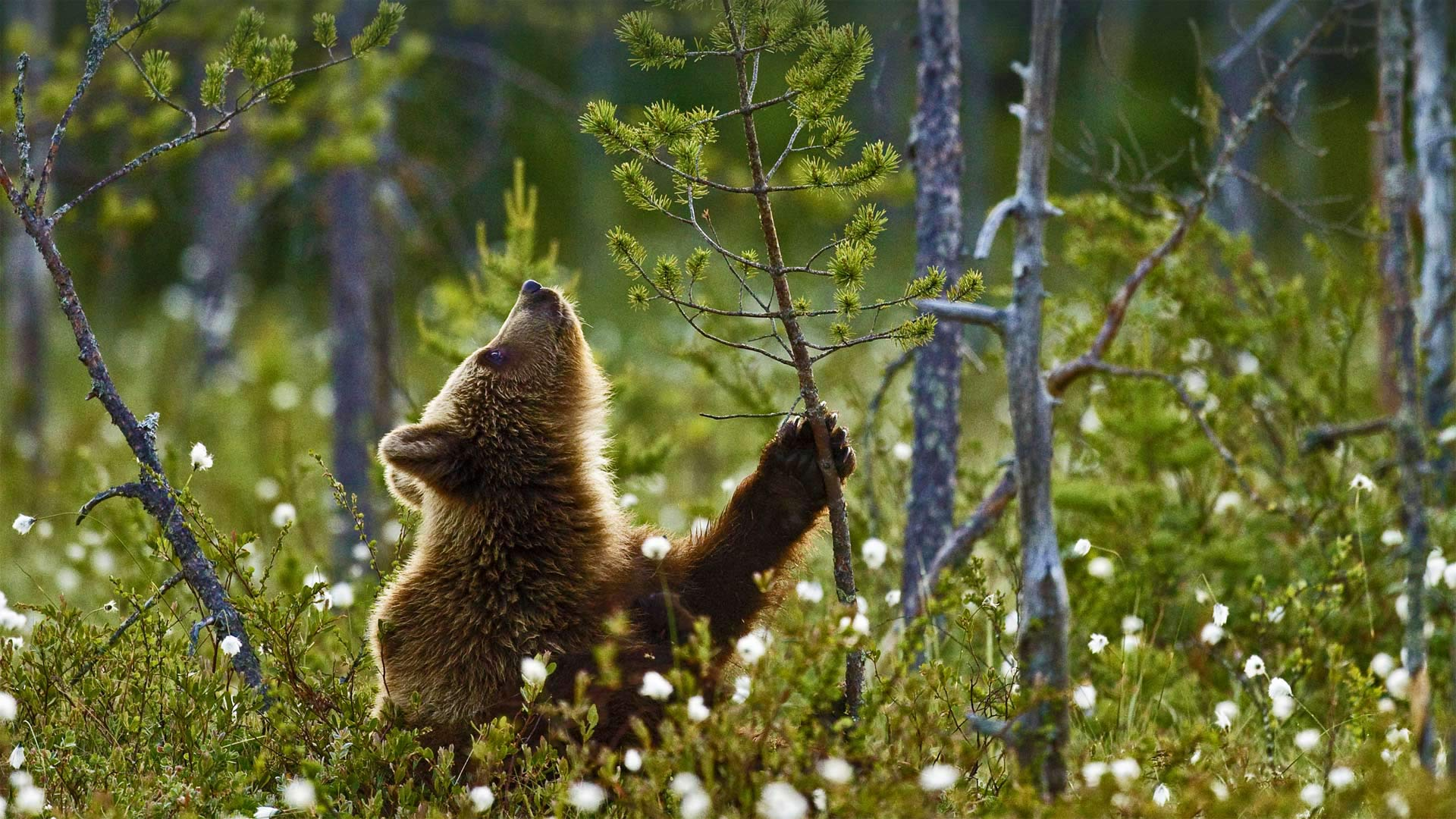 Eurasian brown bear cub in the taiga forest, Finland (© Jules Cox/Minden Pictures)(Bing United States)
