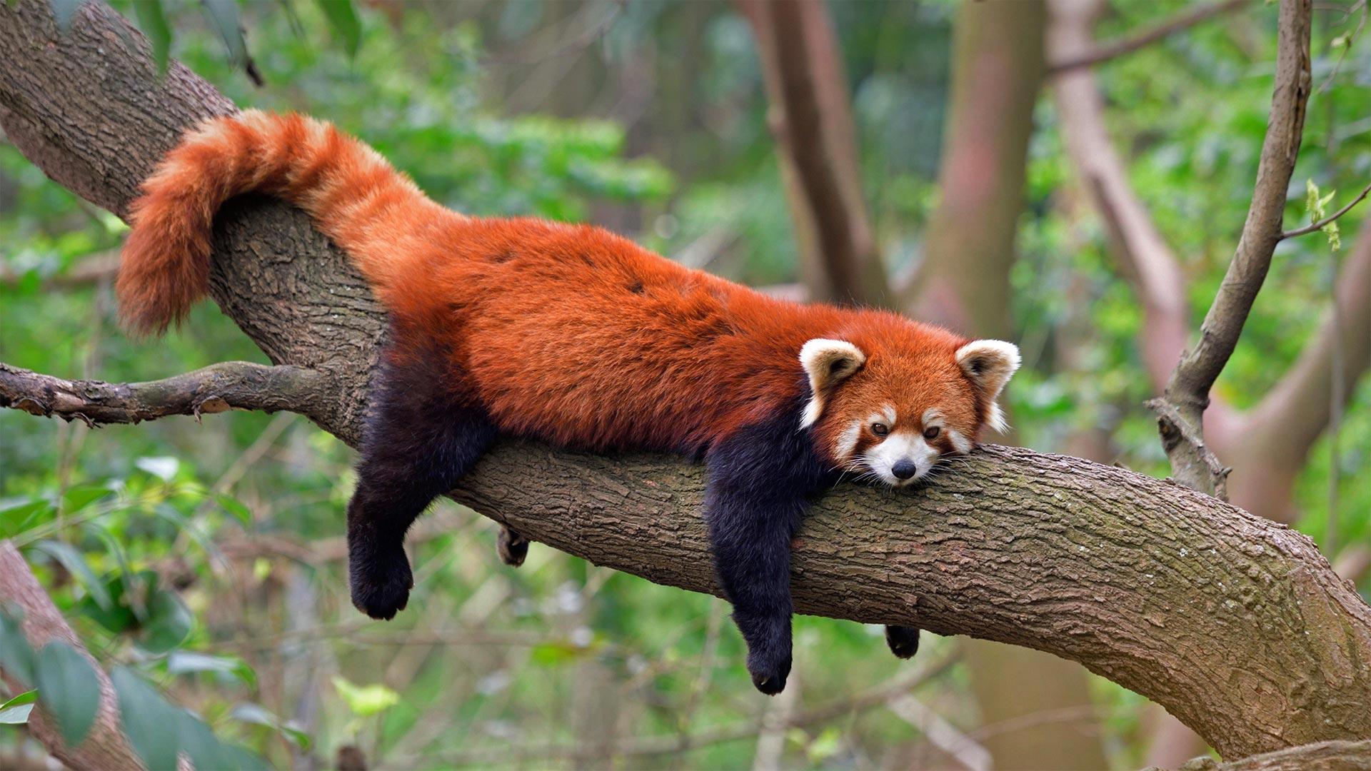 Red panda at the Chengdu Panda Base in Sichuan province, China (© Biosphoto/Alamy)(Bing United States)