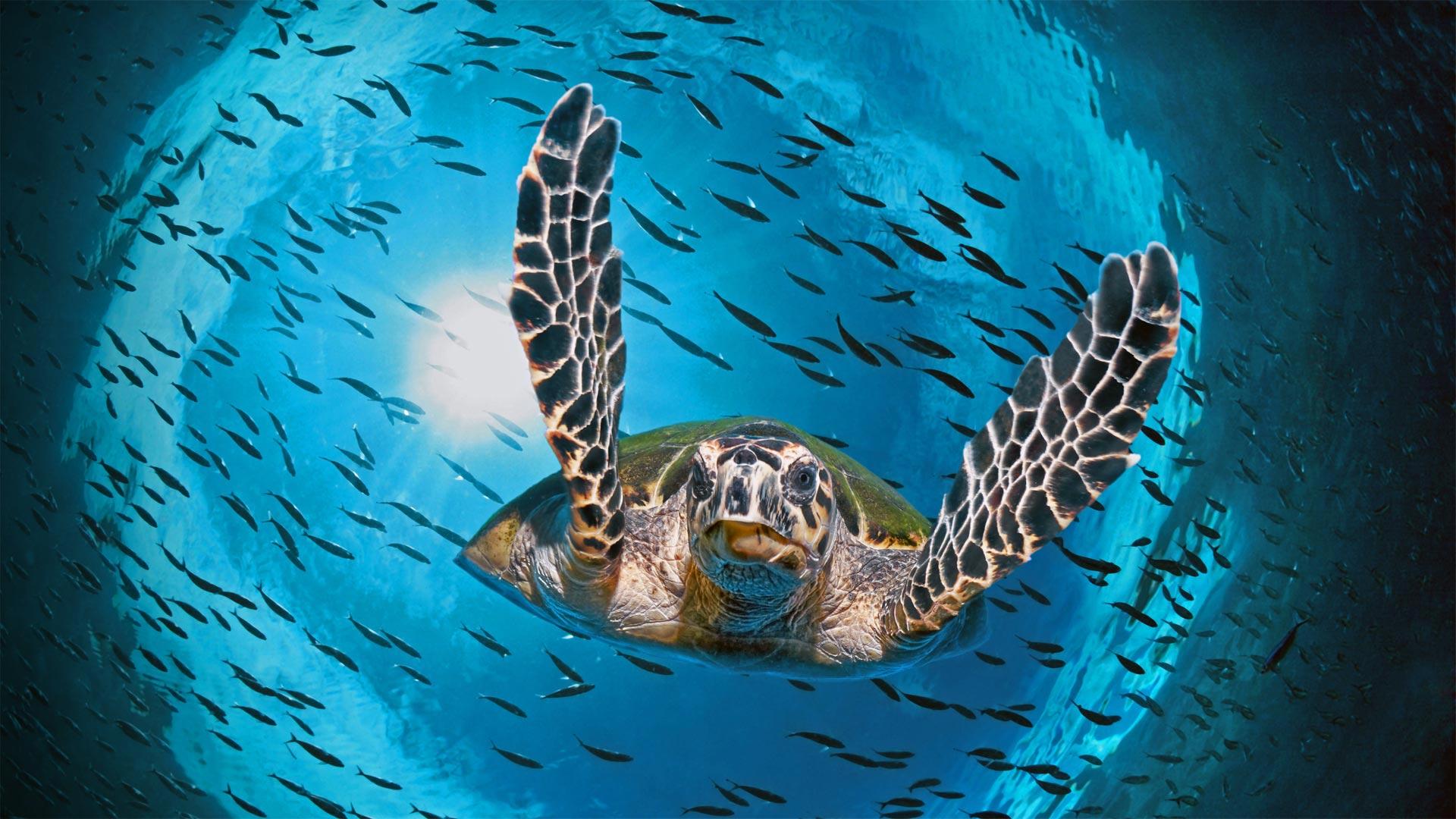 Green sea turtle diving, Great Barrier Reef, Queensland, Australia (© imageBROKER/Alamy)(Bing United States)