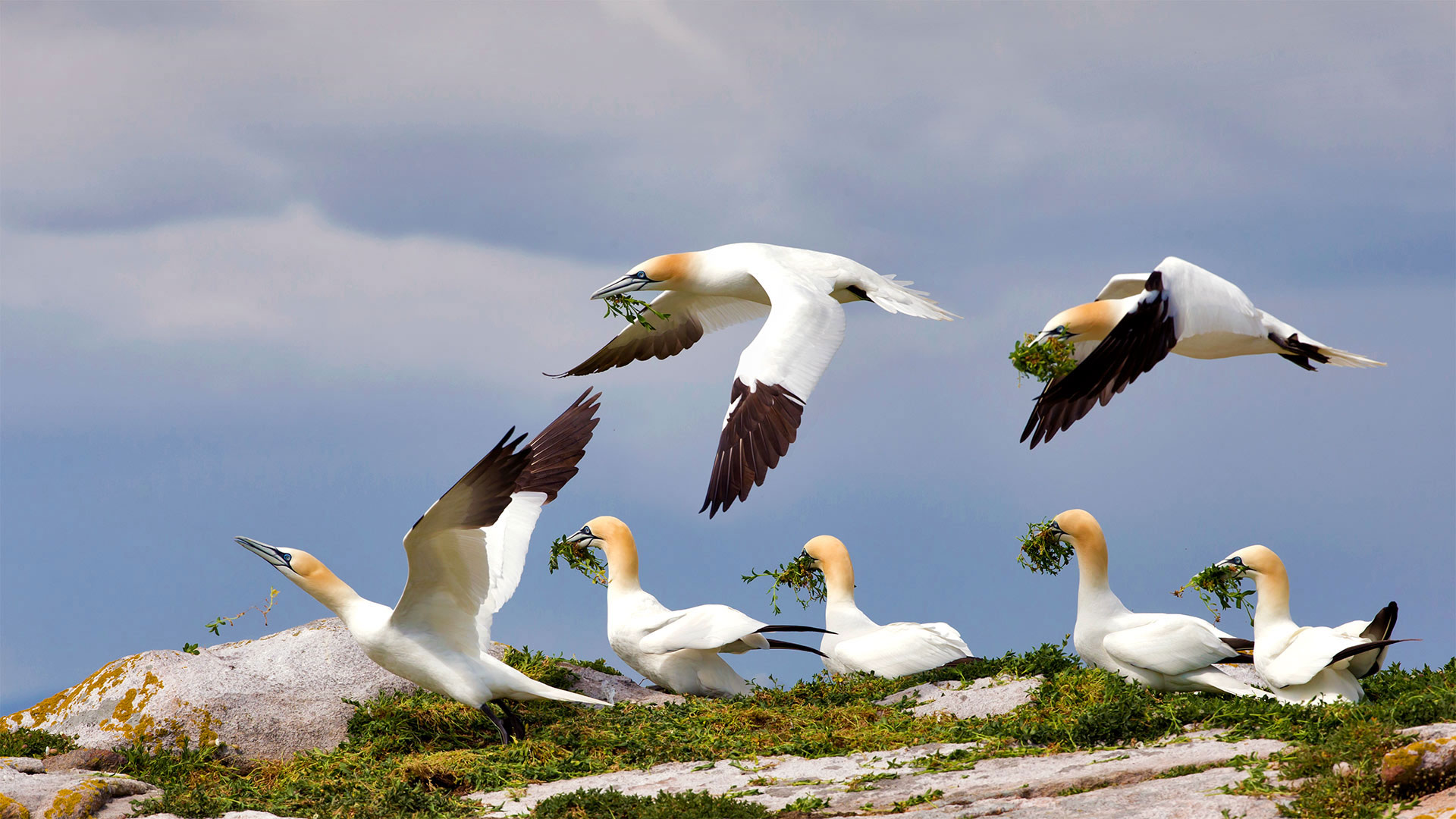 Northern gannets on Great Saltee Island, Ireland (© Danny Green/Minden Pictures)(Bing United States)