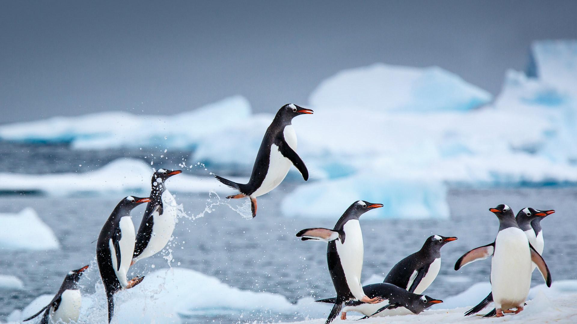 「ジェンツーペンギン」南極, ダンコ島 (© David Merron/Getty Images)