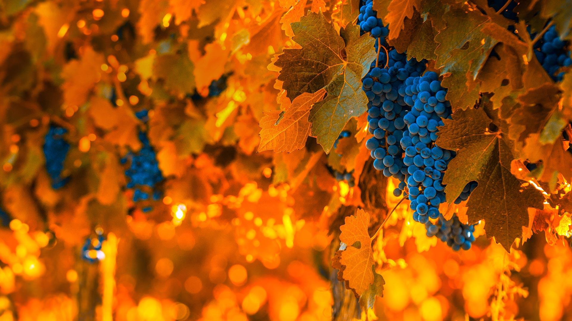 「ワイン用のぶどう」アルゼンチン, メンドーサ (© javarman3/iStock/Getty Images Plus)
