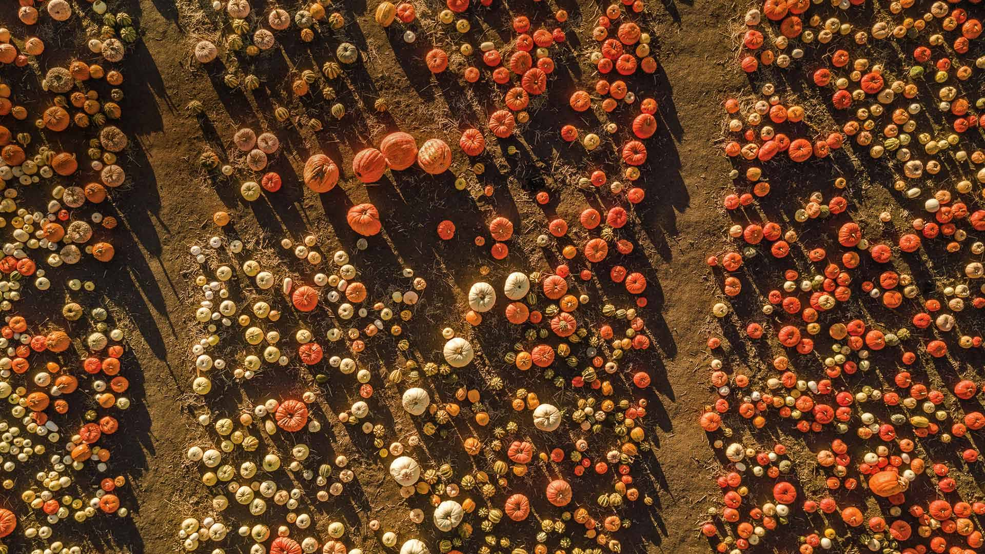 Aerial view of a pumpkin patch in Half Moon Bay, California (© Tinker Street/Michael O
