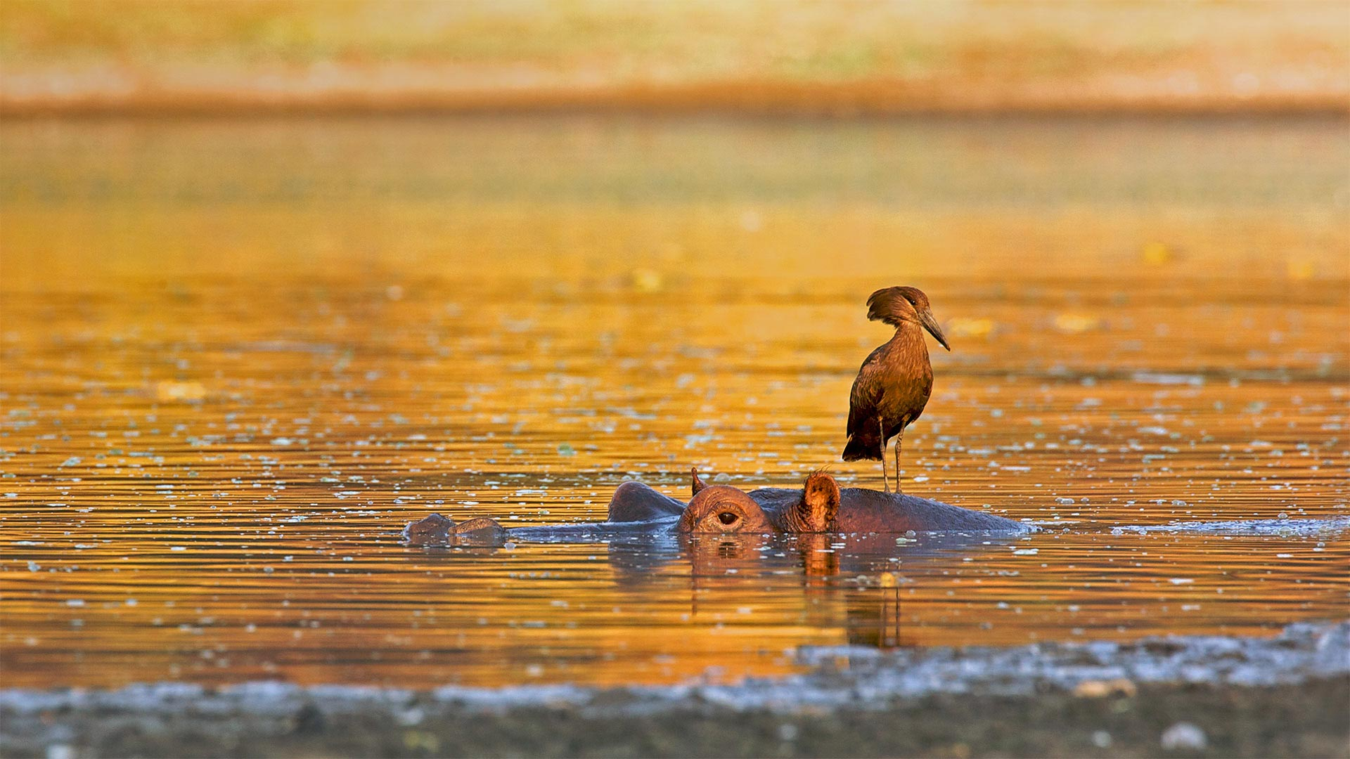 Hamerkop standing on a hippo, Mana Pools National Park, Zimbabwe (© David Fettes/Getty Images)(Bing United States)