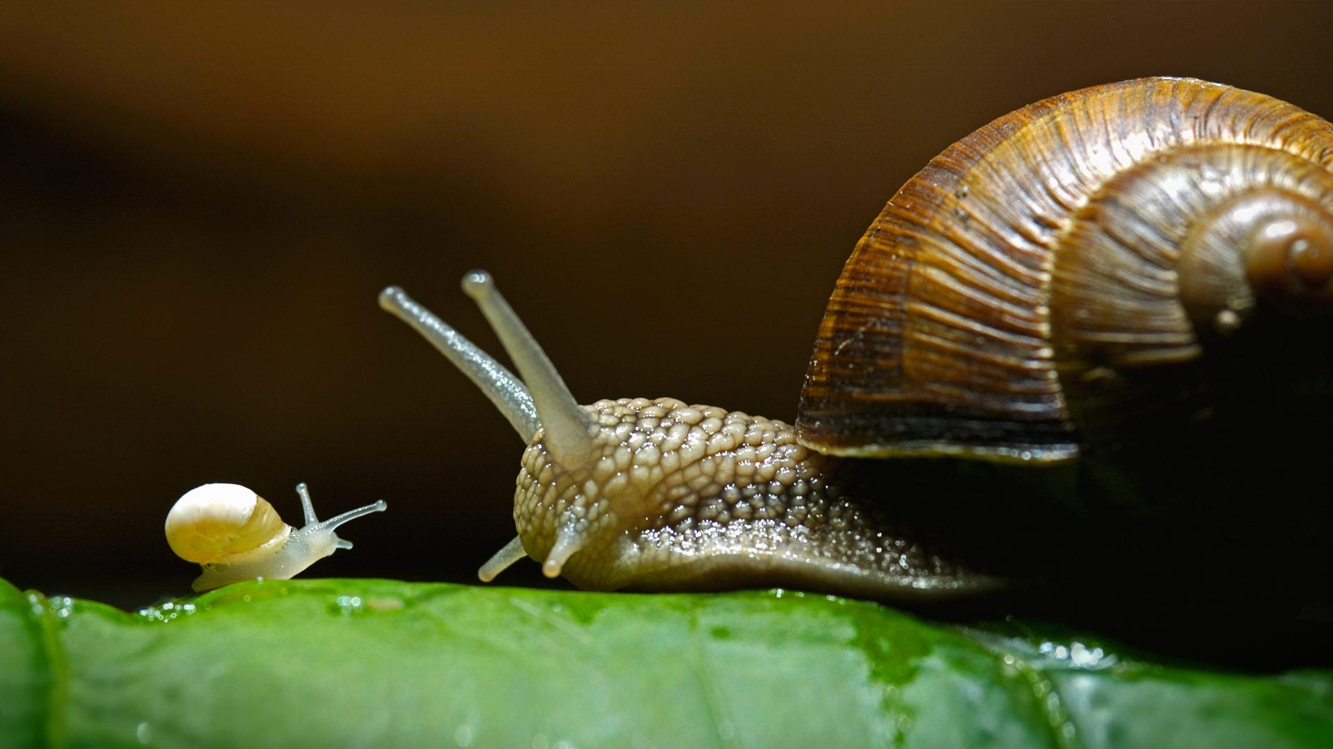 Burgundy snails, also called edible snails (© Heidi and Hans-Juergen Koch/Minden Pictures)(Bing United States)