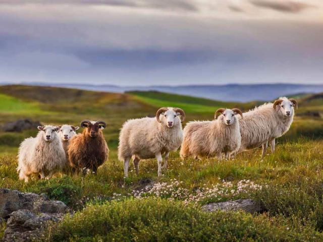 Icelandic sheep ready for réttir (© Pieter Tytgat/Getty Images)