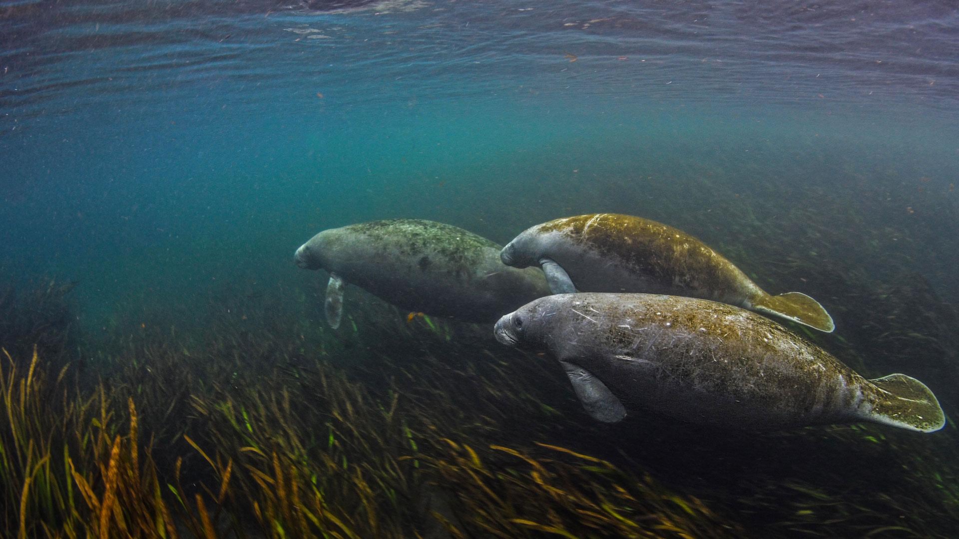 Manatees in the Ichetucknee River in Florida (© Jennifer Adler/Alamy)(Bing United States)