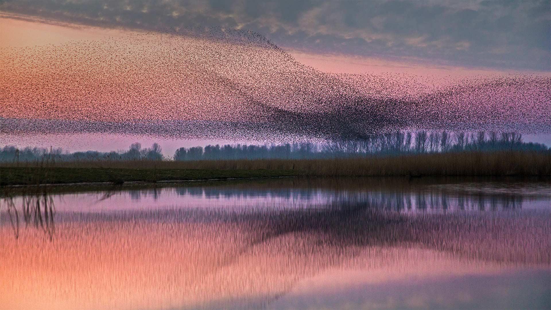 Starlings flock over Lauwersmeer National Park, Netherlands (© Frans Lemmens/Alamy)(Bing United States)