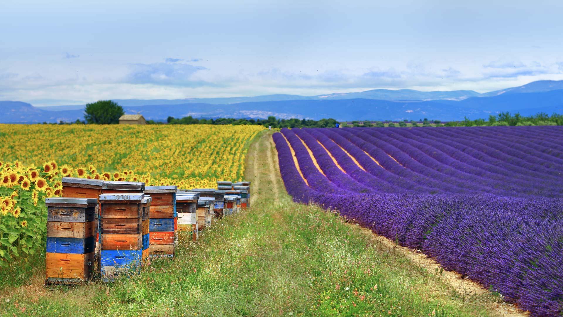 「ハチの巣箱とラベンダー、ヒマワリ畑」フランス, プロヴァンス (© leoks/Shutterstock)