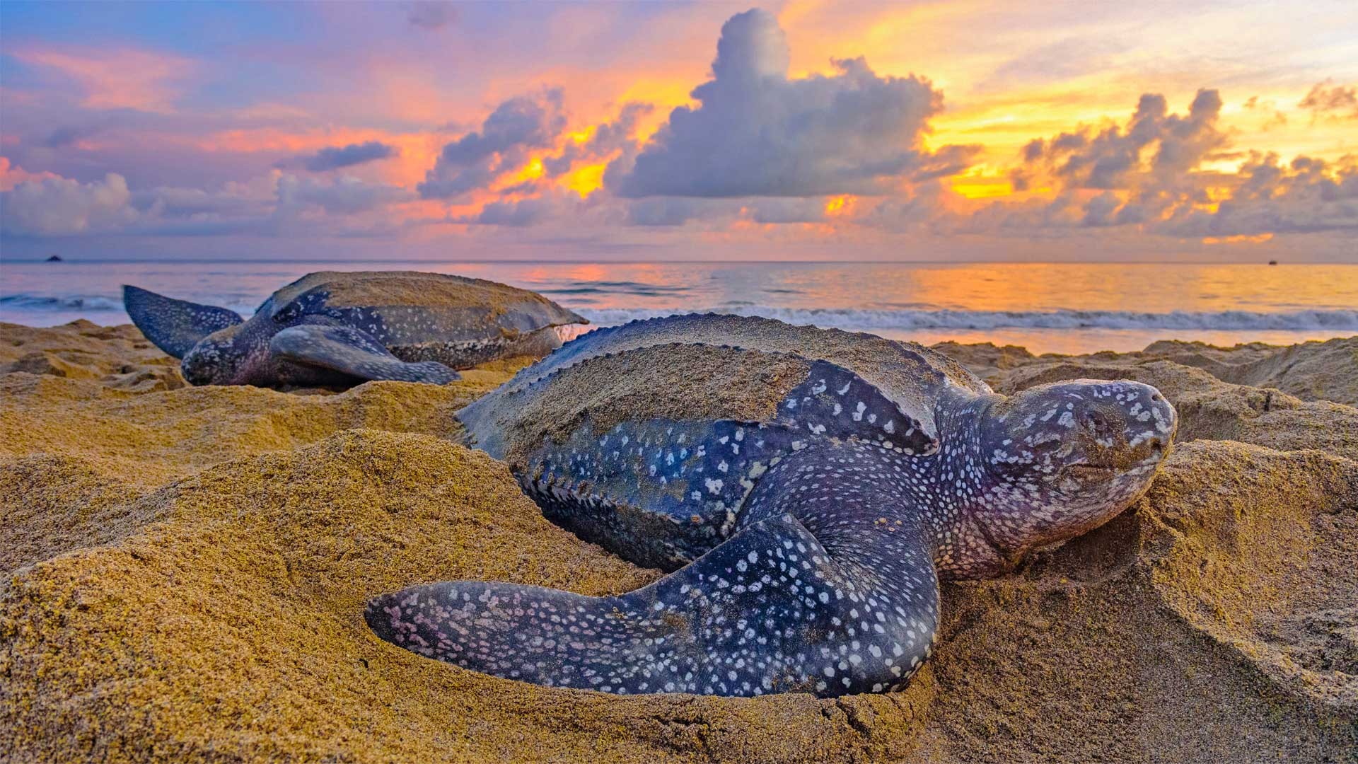 Leatherback sea turtles in Trinidad and Tobago (© Shane P. White/Minden Pictures)(Bing United States)
