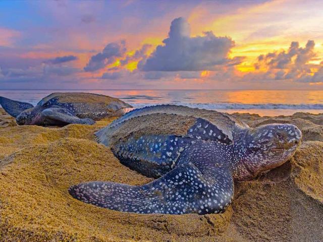 Leatherback sea turtles in Trinidad and Tobago (© Shane P. White/Minden Pictures)