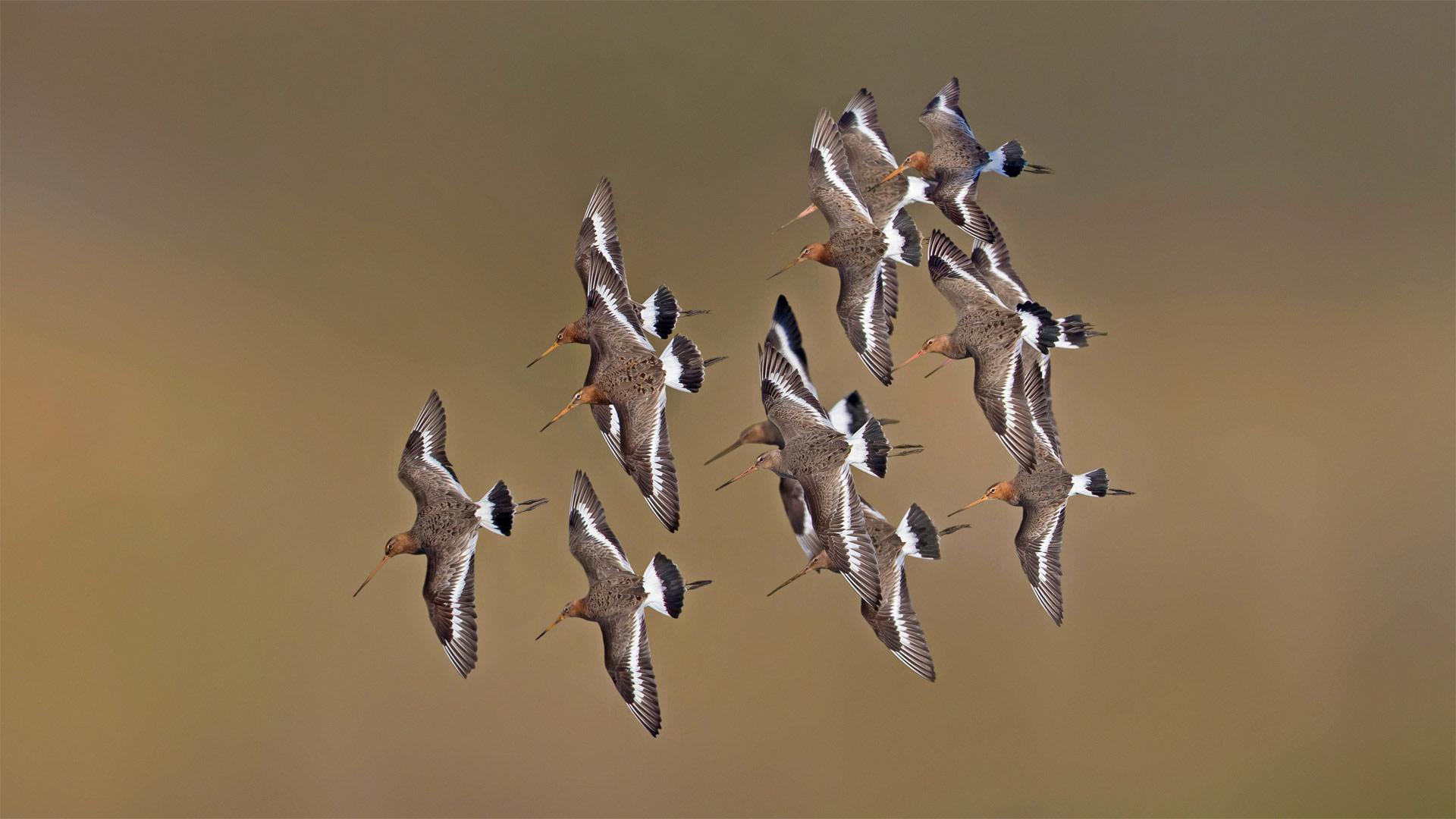 Black-tailed godwits, Netherlands (© Edward van Altena/Minden Pictures)(Bing United States)