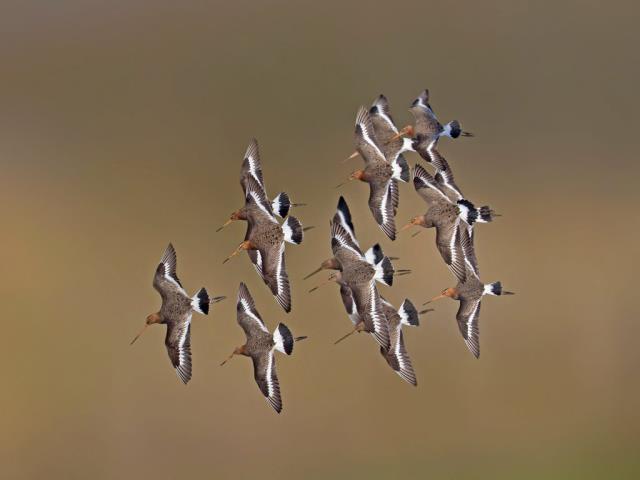 Black-tailed godwits, Netherlands (© Edward van Altena/Minden Pictures)