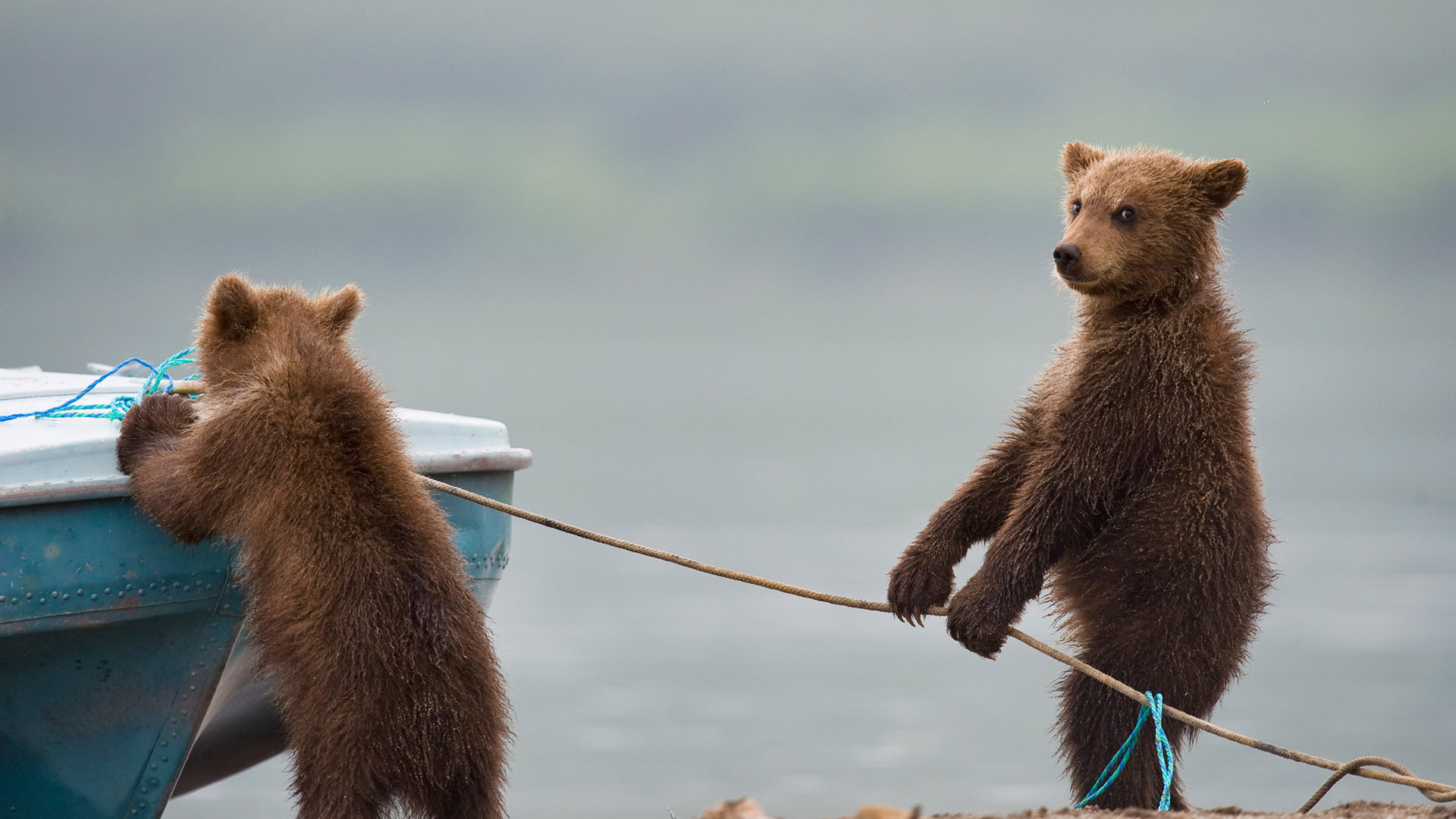 Bear cubs playing by a lake (© Sergey Ivanov/Getty)(Bing Canada)