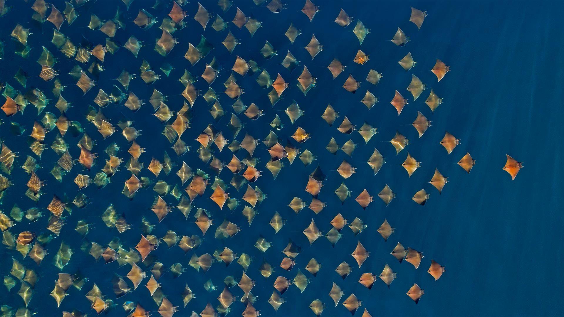 「ムンクイトマキエイの群れ」メキシコ, カリフォルニア湾 (© Mark Carwardine/Minden Pictures)
