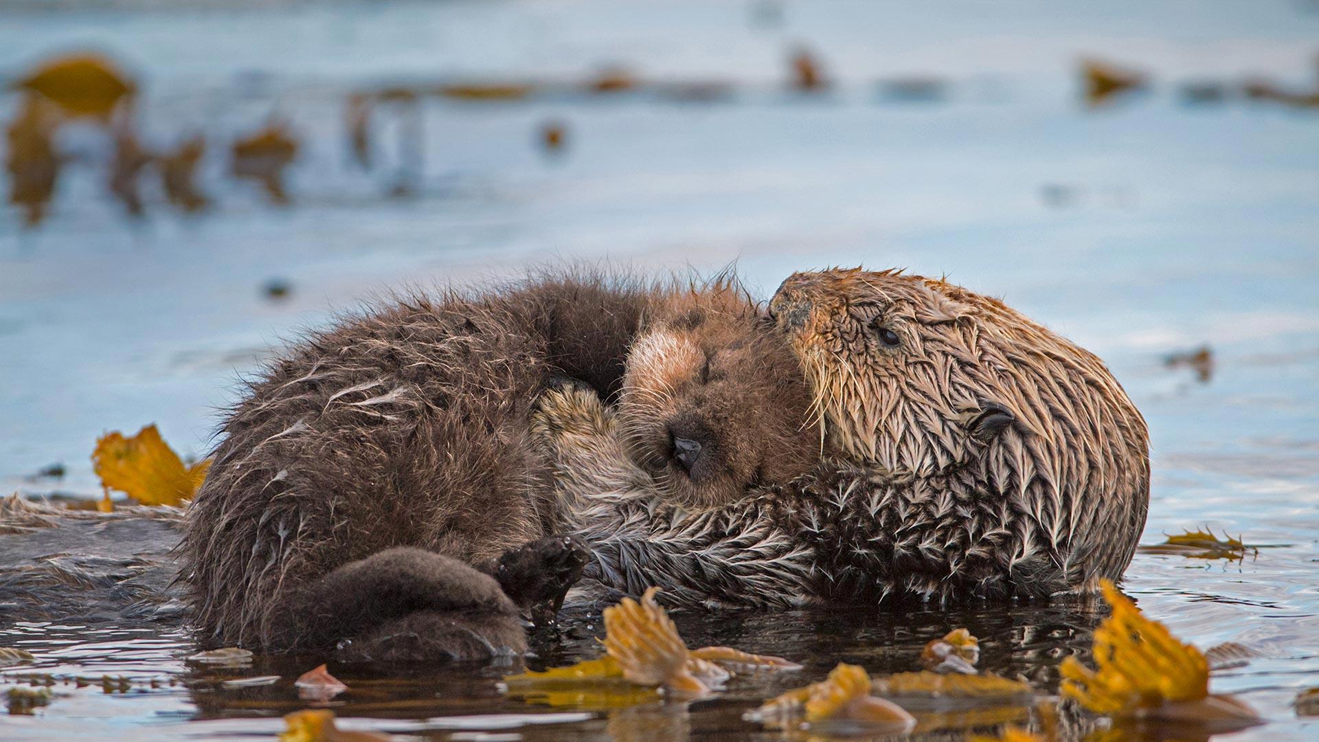 「親子ラッコ」米国カリフォルニア州, モントレー湾 (© Suzi Eszterhas/Minden Pictures)