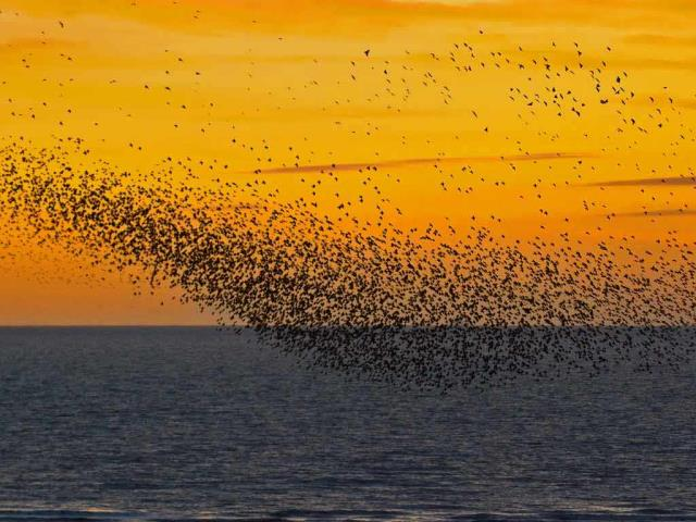 Starlings at sunset in Blackpool, England (© Mediaworld Images/Alamy)