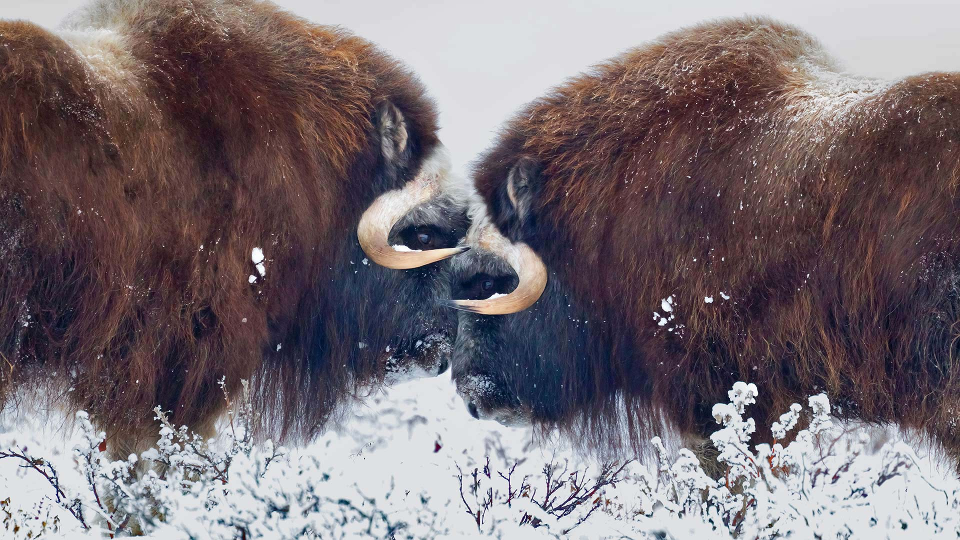 Male muskoxen near Prudhoe Bay in Alaska (© Oliver Smart/Alamy)(Bing United States)