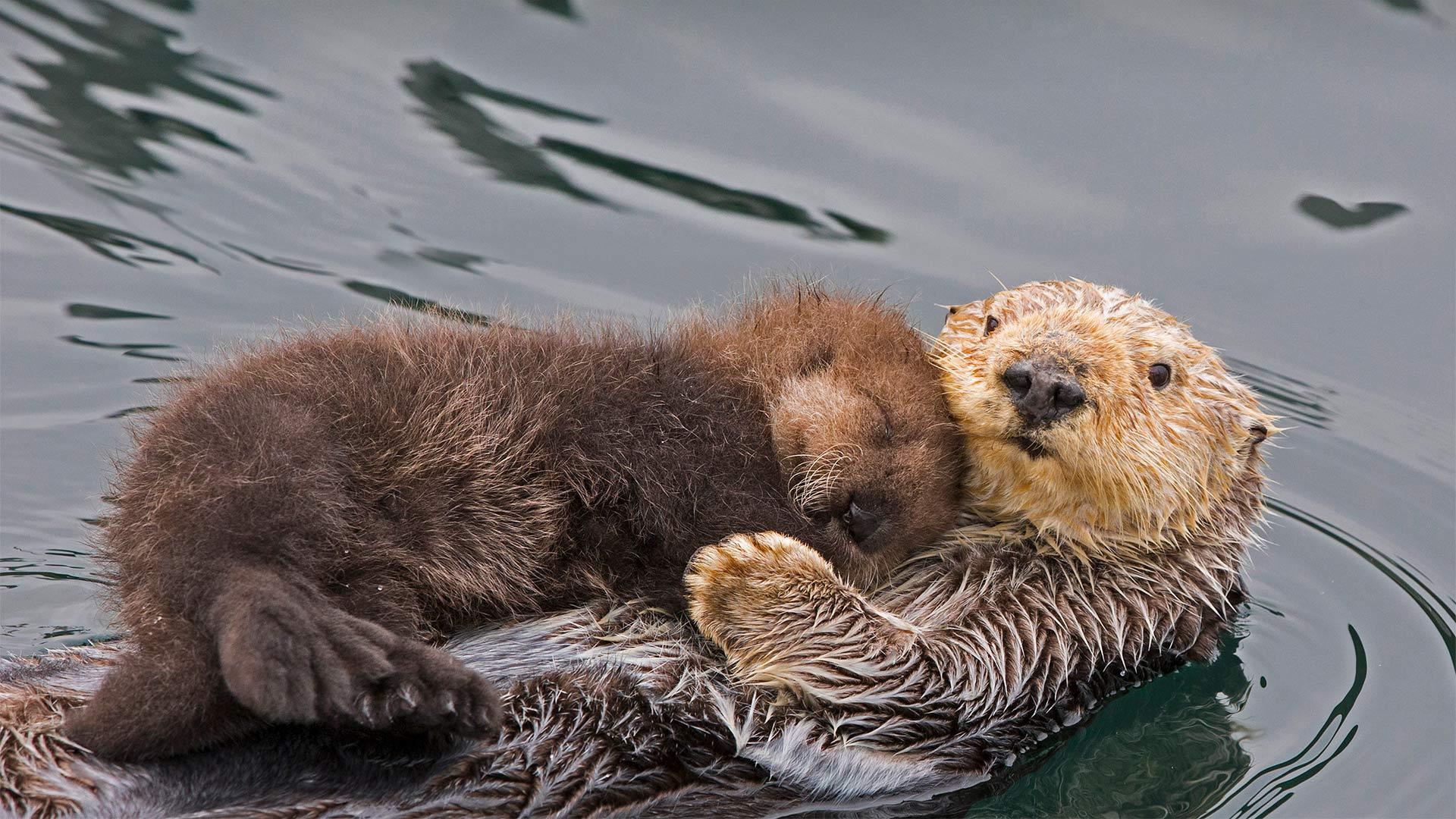 Sea otter mother and newborn pup, Monterey Bay, California (© Suzi Eszterhas/Minden Pictures)(Bing United States)