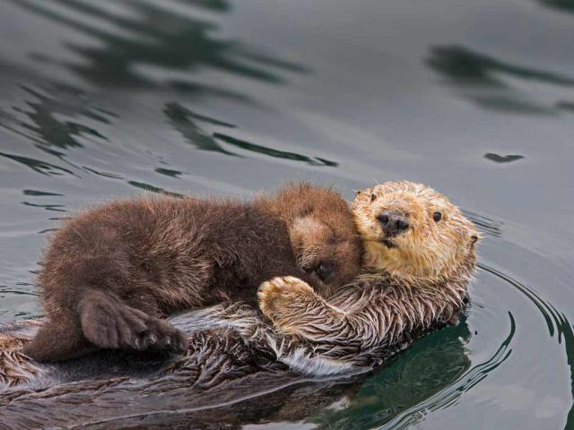 Sea otter mother and newborn pup, Monterey Bay, California (© Suzi Eszterhas/Minden Pictures)