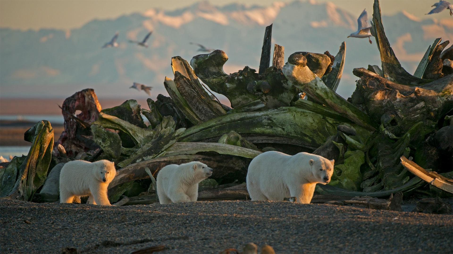 Une femelle ours polaire et ses petits dans le refuge national de la faune arctique (© Steven Kazlowski/Minden Pictures)(Bing France)