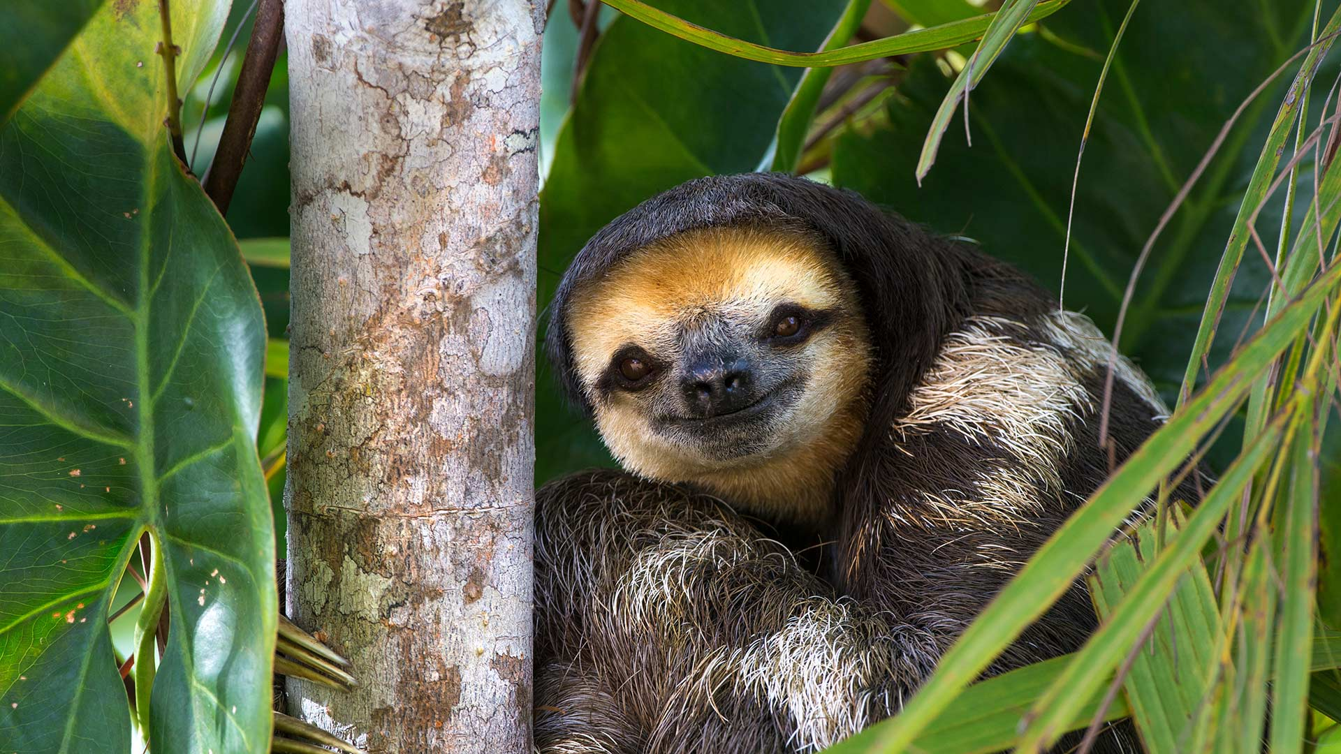 Pale-throated sloth perched in a tree on Sloth Island, near Bartica on the Essequibo River, Guyana (© Suzi Eszterhas/Minden Pictures)(Bing United States)