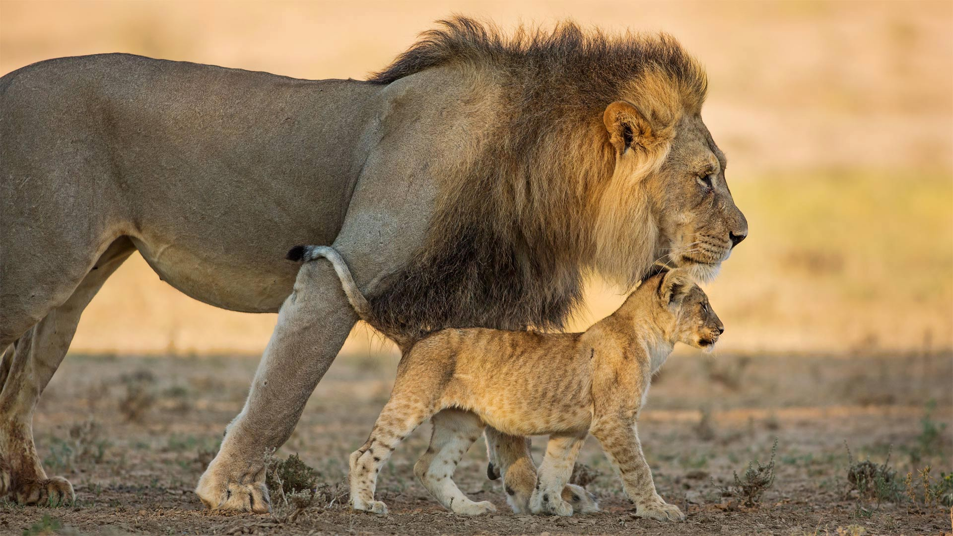 Male African lion and cub in Kgalagadi Transfrontier Park in southern Africa (© Richard Du Toit/Minden Pictures)(Bing United States)